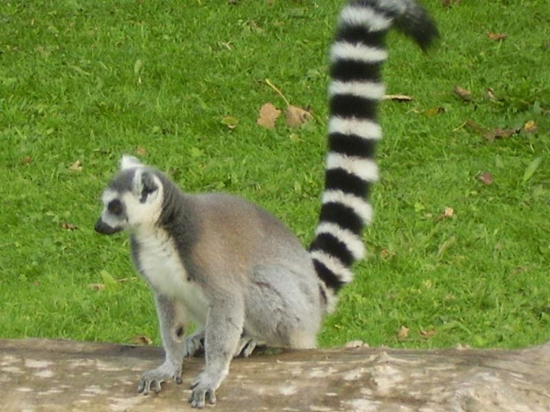ring_tailed_lemur.jpg